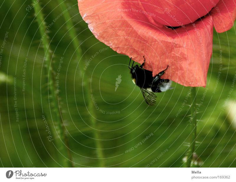 Nur mal abhängen Natur Blume grün Pflanze rot Sommer Tier Wiese Frühling Kraft Feld Umwelt Insekt natürlich festhalten Wildtier