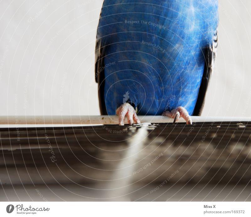 Sittich Inkognito blau Tier Vogel Tierfuß Armut fliegen sitzen Feder Flügel dünn Zoo gefangen Haustier frech Papageienvogel Gitter