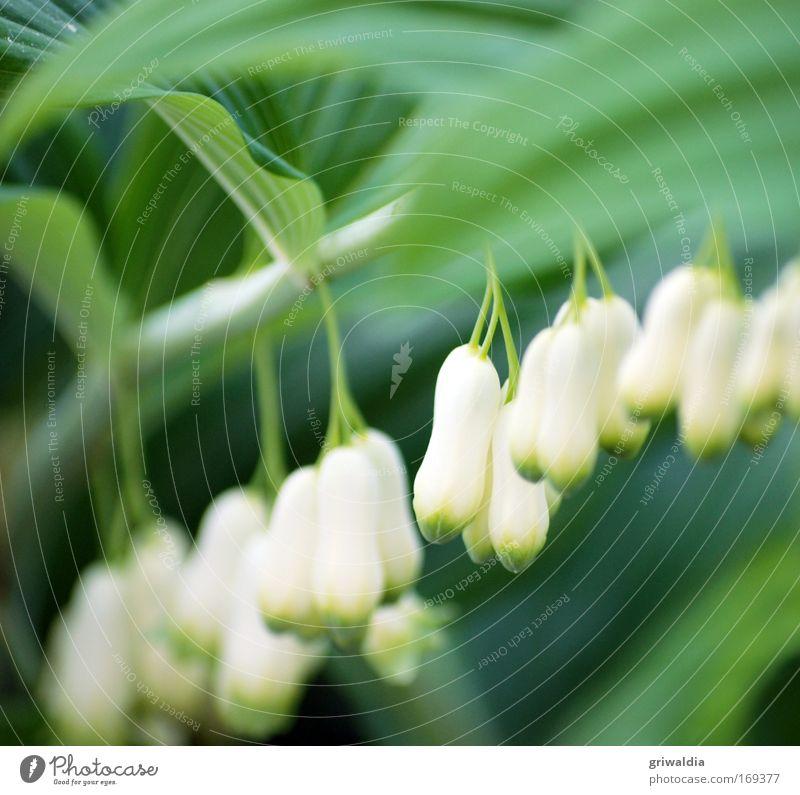 Maienglöckchen Natur schön weiß Blume grün Pflanze ruhig Erholung Blüte Frühling Park Zufriedenheit Stimmung elegant Perspektive ästhetisch
