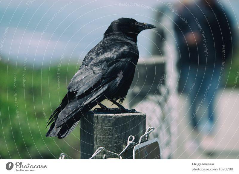 Tiere in Amerika [3] Rabenvögel Krähe Vogel USA Nationalpark fliegen Freiheit schwarz steinig Felsen warten sitzen Schnabel Feder Flügel Blick Einsamkeit
