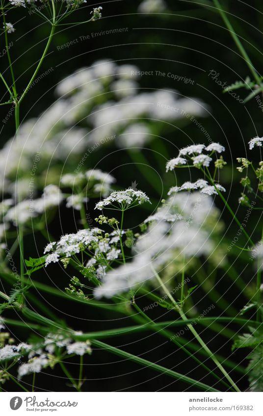 filigranes Pflanzenwerk II Farbfoto Außenaufnahme Nahaufnahme Schwache Tiefenschärfe Natur Frühling Sommer Blume Blüte Wildpflanze Park Wiese Feld dunkel hell