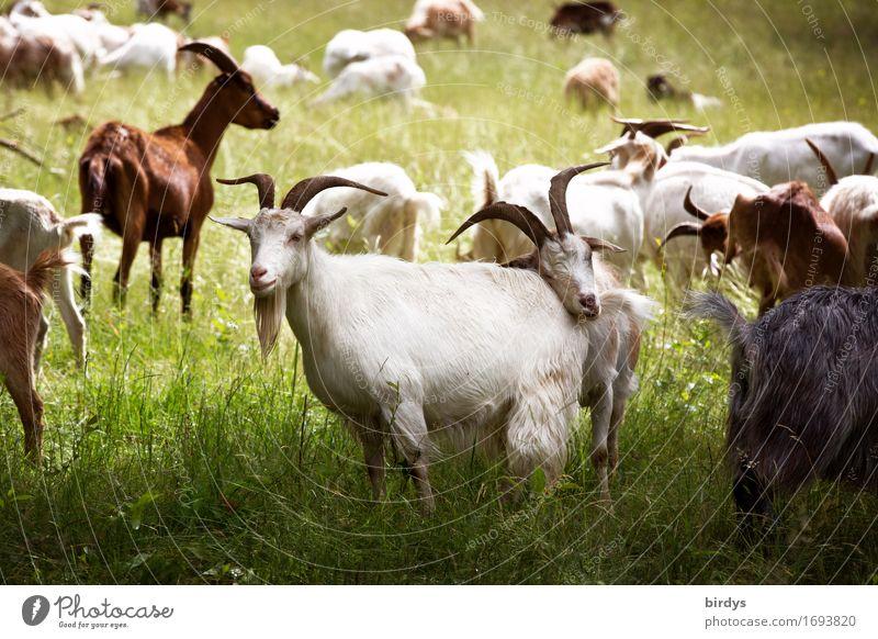 Herdentrieb Natur Sommer Landschaft Leben Wiese natürlich Gesundheit Zusammensein Zufriedenheit frei Kraft ästhetisch berühren Landwirtschaft Weide