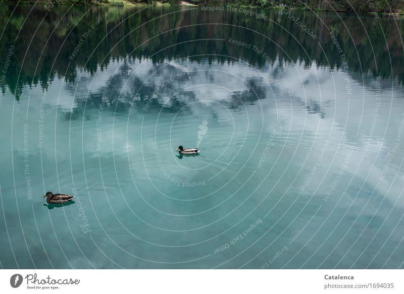 Schwimmen im Himmel Schwimmen & Baden Umwelt Landschaft Pflanze Tier Wolken Tanne Wald Berge u. Gebirge See Wildtier Vogel Ente 2 tauchen Zusammensein blau grün