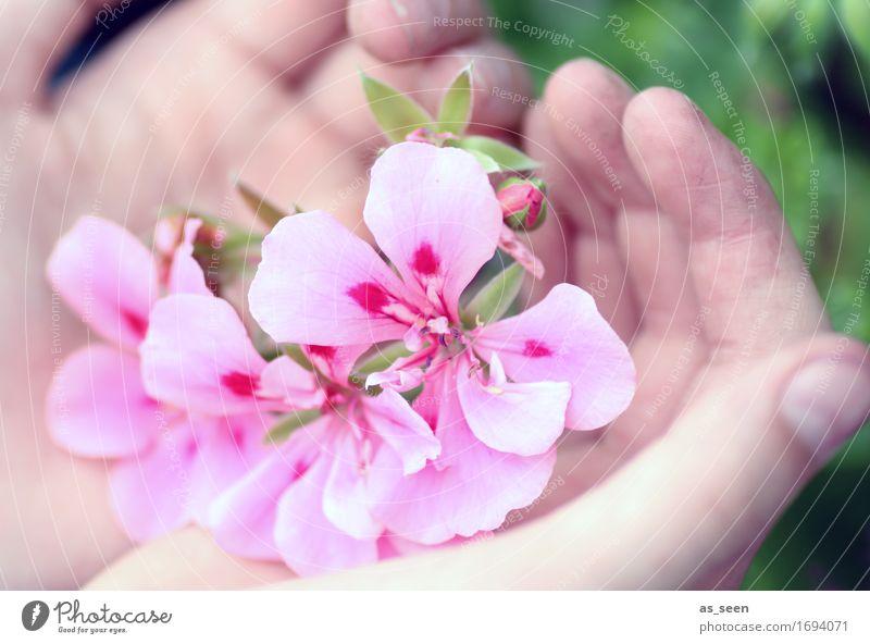 Sommerblüten Lifestyle schön Wellness Leben Sinnesorgane Meditation Garten Dekoration & Verzierung Hand Finger Umwelt Natur Frühling Pflanze Blume Pelargonie