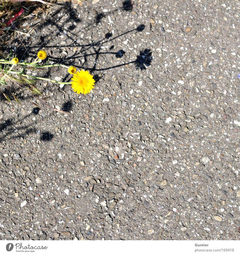 ich bremse auch für Blumen... Natur grün Pflanze gelb Straße Blüte grau Park Erde verrückt Asphalt Grünpflanze Straßenrand Wildpflanze