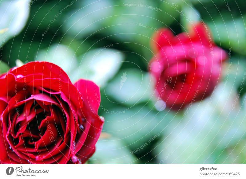 neues aus mamas beet schön Blume grün Pflanze rot ruhig Stil Blüte Glück Park Regen Wassertropfen Rose Fröhlichkeit ästhetisch Dekoration & Verzierung