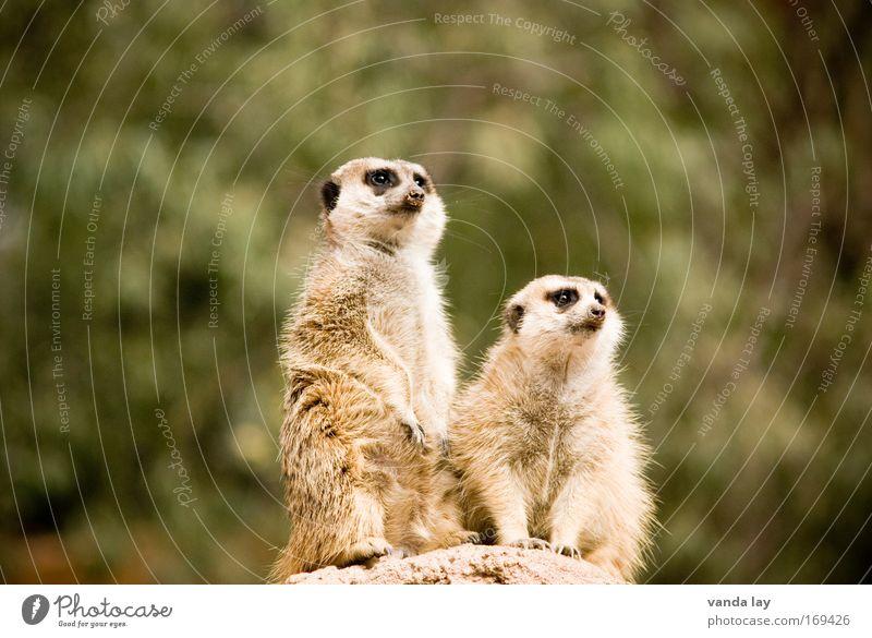 Ist das Steffi Graf da drüben? Tier lustig sitzen Tierpaar Wildtier stehen paarweise beobachten Neugier Afrika Zoo Optimismus Südafrika Erdmännchen Tierfamilie
