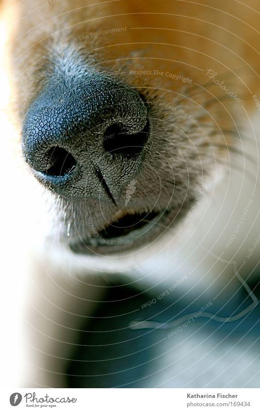 los komm schon näher Tier Haustier Hund 1 braun schwarz weiß Hundeschnauze Nasenloch Nahaufnahme Hundebarthaare Menschenleer Schnauze Barthaare Fell Hirtenhund