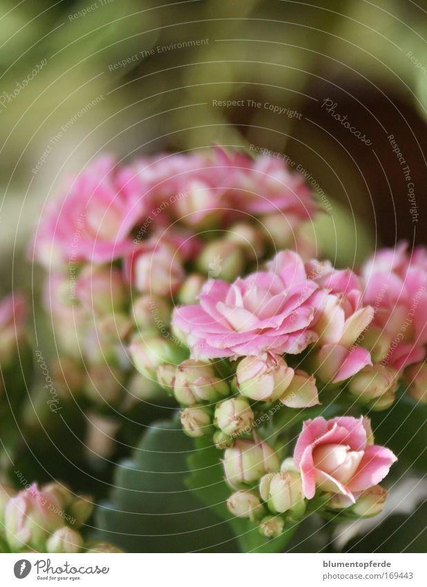 Rosa's rosa Zimmerpflänzchen Farbfoto Innenaufnahme Nahaufnahme Morgen Unschärfe Zentralperspektive Pflanze Blume Topfpflanze Blüte Zimmerpflanze Duft