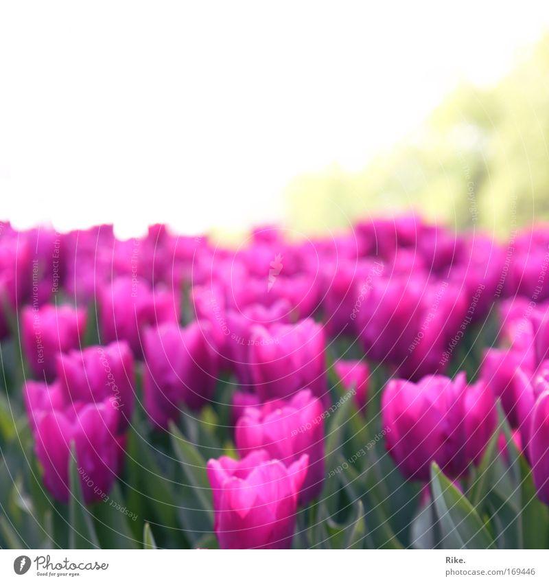 Blumig pinke Weiten. Farbfoto Außenaufnahme Menschenleer Textfreiraum oben Tag Sonnenlicht Zentralperspektive Umwelt Natur Pflanze Himmel Horizont Frühling