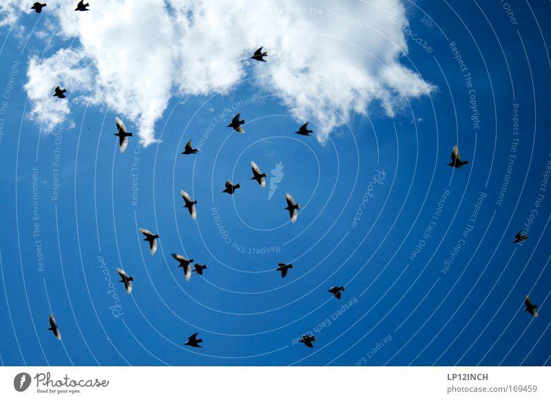 on my shoulder! Himmel Natur blau Sommer schwarz Umwelt Landschaft Luft Vogel ästhetisch beobachten entdecken Genauigkeit Schwarm Schwalben