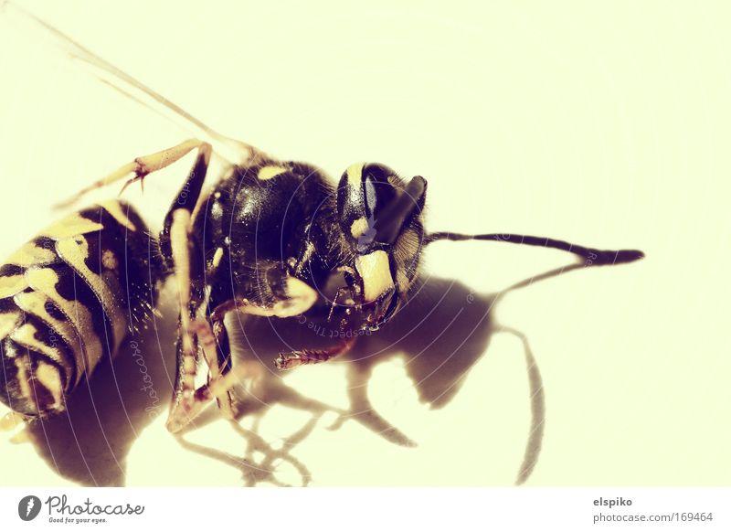 Zur falschen Zeit am falschen Ort Tier gelb nah bedrohlich liegen Flügel Fühler Wespen Totes Tier