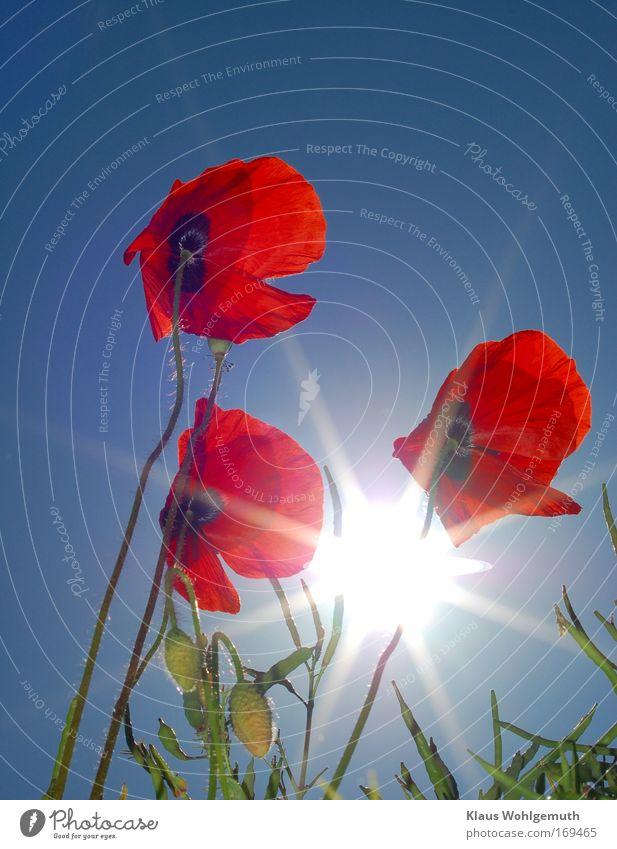 Klatschmohn Natur Himmel weiß Sonne Blume grün blau Pflanze rot Sommer Wiese Blüte Feld Umwelt Fröhlichkeit Romantik