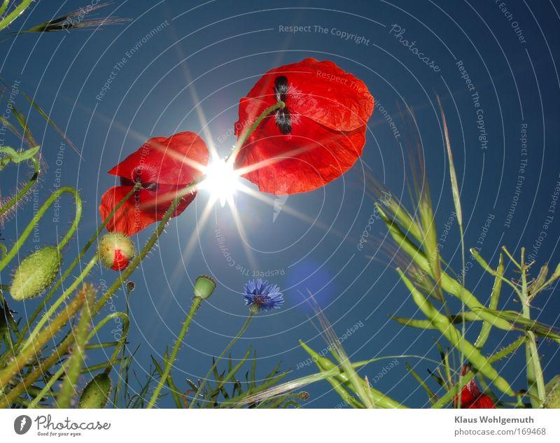Klatschmohn Natur schön Himmel Sonne Blume grün blau Pflanze rot Sommer Wiese Blüte Feld Umwelt Fröhlichkeit Wachstum