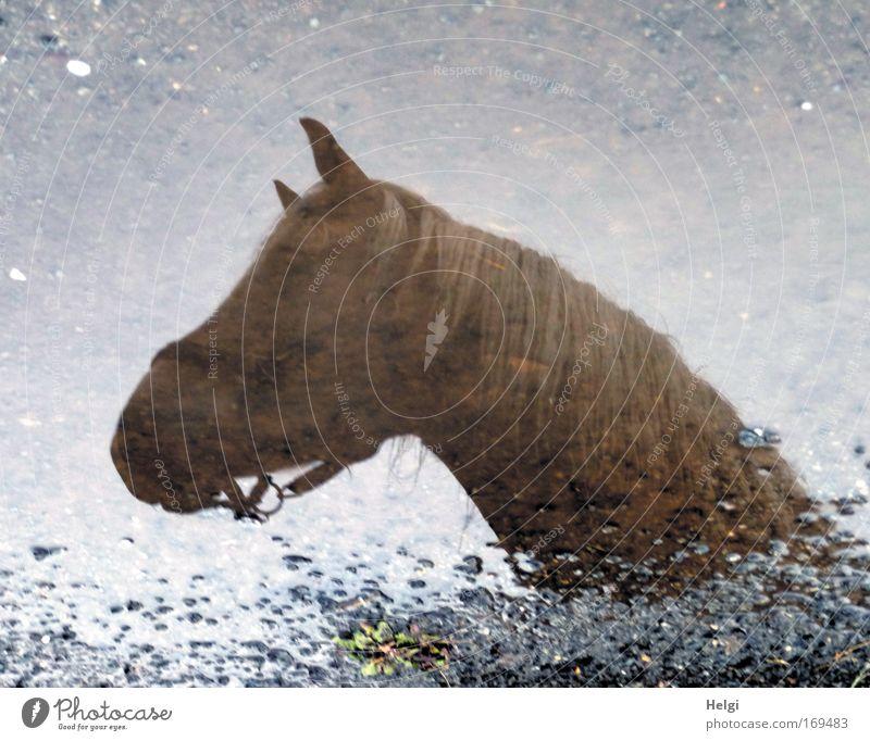Fata Morgana... Natur Wasser blau Tier Kopf grau träumen Stein Regen Zufriedenheit braun Kraft Umwelt nass groß Pferd