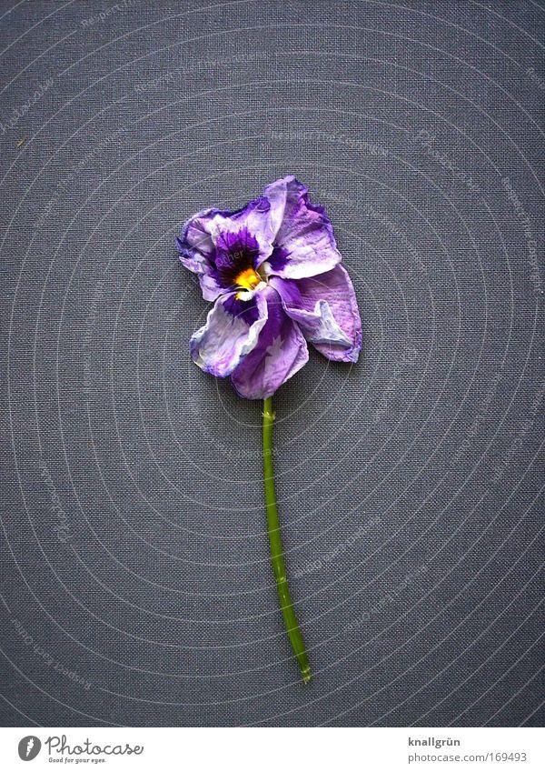 Verwelkt Natur weiß Blume grün blau Pflanze gelb Tod Blüte grau Traurigkeit Wandel & Veränderung violett Vergänglichkeit Veilchengewächse