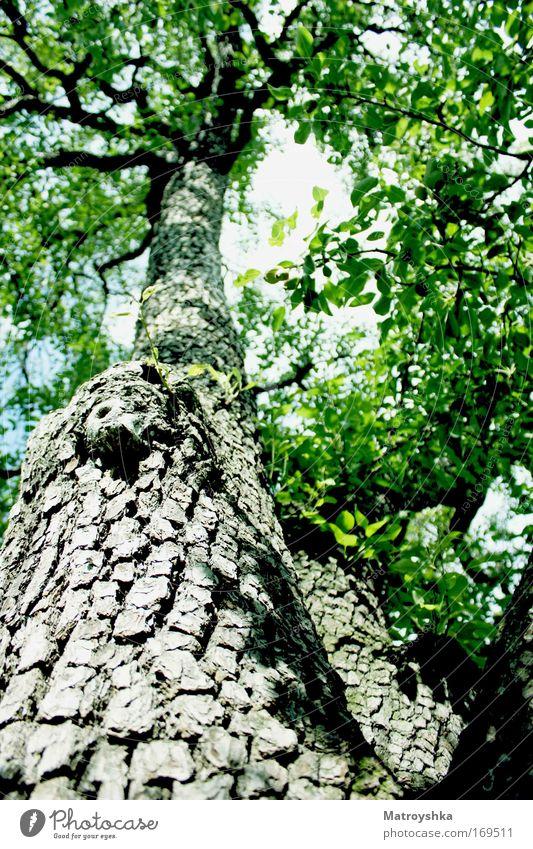 Mutter Natur Farbfoto Außenaufnahme Tag Sonnenstrahlen Froschperspektive Sonnenlicht Schönes Wetter Baum groß grün einzigartig Energiewirtschaft stagnierend
