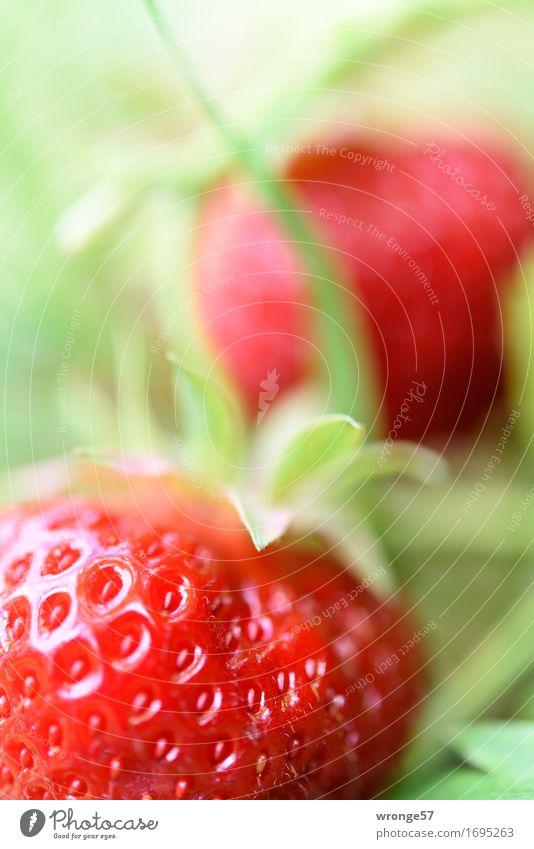 Erntefrisch | letzte Erdbeeren Lebensmittel Frucht Ernährung Bioprodukte Vegetarische Ernährung Sommer Garten Feld Gesundheit glänzend saftig süß grün rot