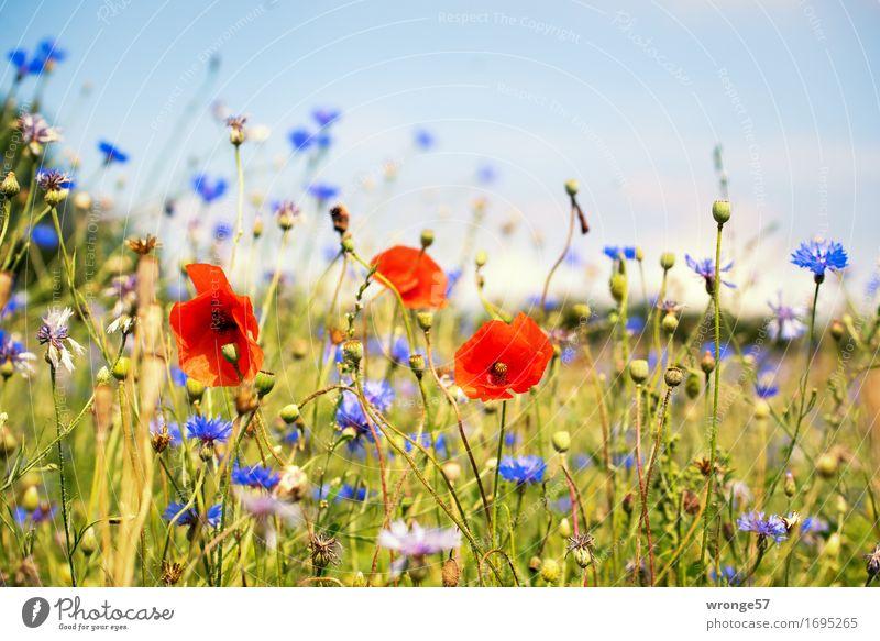 Sommerwiese Natur blau Pflanze grün Blume rot Wiese braun Feld Mohn sommerlich Blumenwiese Kornblume Feldrand Mohnblüte