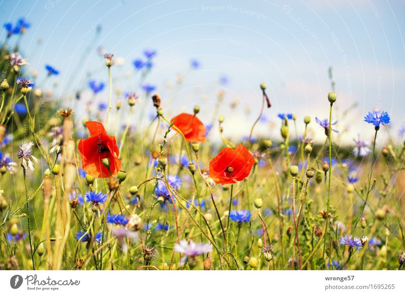 Sommerwiese Natur Pflanze Blume Mohn Kornblume Wiese Feld blau braun mehrfarbig grün rot Blumenwiese Feldrand Mohnblüte sommerlich Farbfoto Außenaufnahme