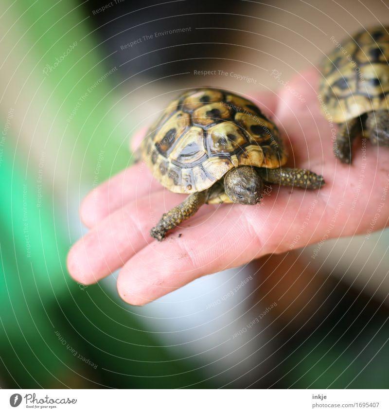 griechische Landschildkrötenkinder Hand Handfläche Tier Haustier Schildkröte Schildkrötenpanzer 1 2 Tierpaar Tierjunges festhalten außergewöhnlich klein Schutz