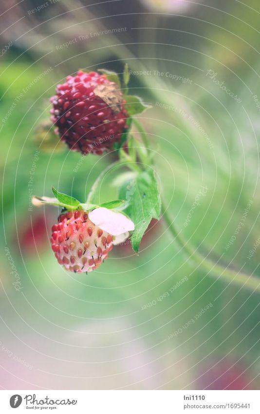 Walderdbeere Natur Pflanze Sommer Schönes Wetter Wärme Blatt Wildpflanze Wald-Erdbeere Garten Park Feld Duft klein saftig gelb grau grün violett rosa rot weiß