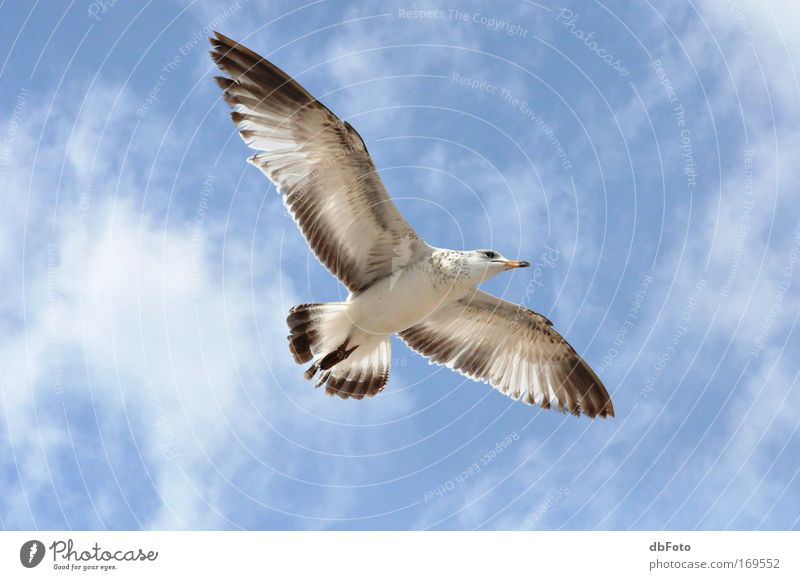 Gleitflug Farbfoto Außenaufnahme Luftaufnahme Tag Tier Wildtier Vogel Möve Florida Segeln 1 fliegen gleiten