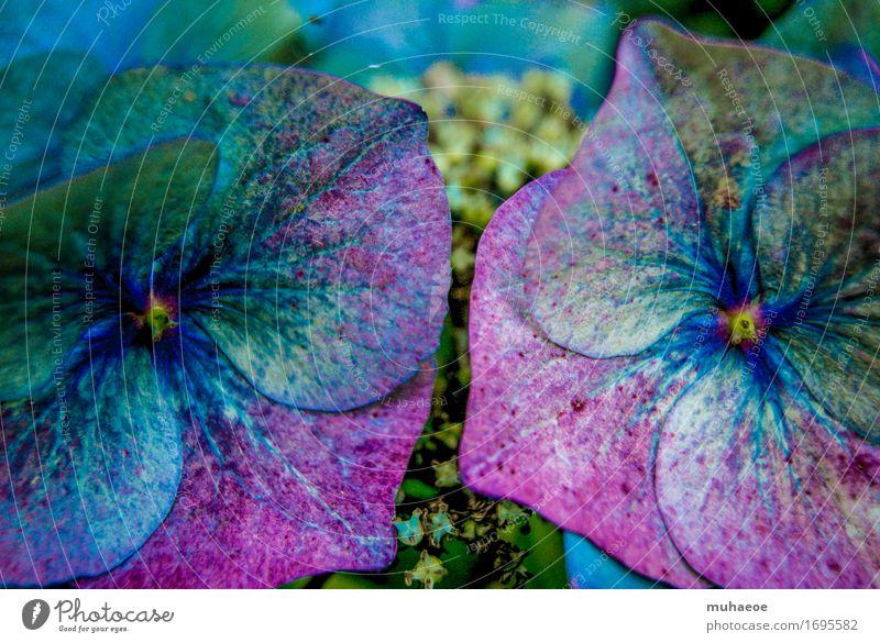 Hortensie Pflanze Sträucher Blüte Hortensienblüte Blühend Garten Frankreich nah schön blau grün violett rosa türkis einzigartig rein Wachstum Farbfoto