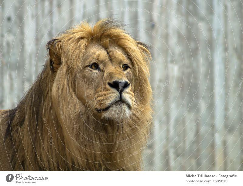 Löwe Porträt exotisch Safari Natur Tier Wildtier Tiergesicht Fell Zoo 1 beobachten fangen Jagd Blick ästhetisch groß nah muskulös Geschwindigkeit stark Kraft