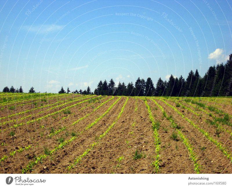 """""""in Reih und Glied!!"""" Umwelt Natur Landschaft Erde Sand Himmel Sommer Schönes Wetter Pflanze Baum Gras Nutzpflanze Feld Wald Hügel Wachstum blau braun grün"""
