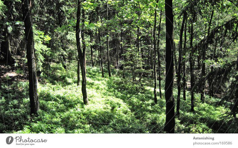 hauptsächlich grün Natur Baum Pflanze Sommer ruhig Blatt schwarz Wald Landschaft Wetter Umwelt Wachstum Sträucher Ast Baumstamm