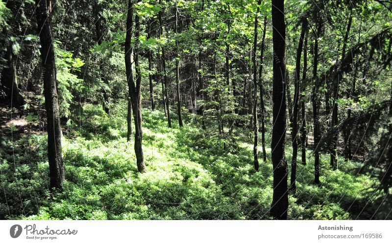 hauptsächlich grün Umwelt Natur Landschaft Pflanze Sommer Wetter Schönes Wetter Baum Sträucher Grünpflanze Wald Wachstum schwarz ruhig Baumstamm Blatt Waldboden