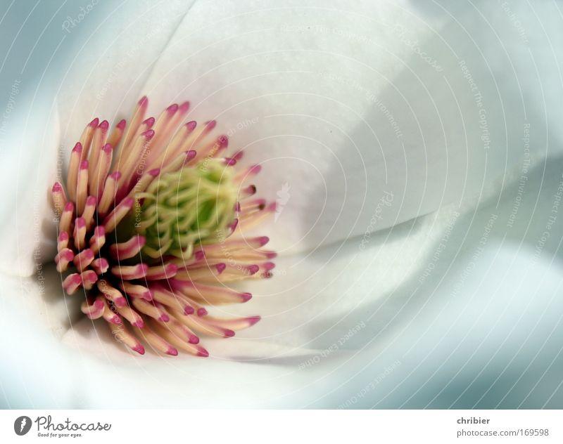 Wo sind die Bienchen? Nahaufnahme Makroaufnahme Textfreiraum rechts Schwache Tiefenschärfe Pflanze Frühling Baum Blume Blüte Magnolienblüte Magnoliengewächse