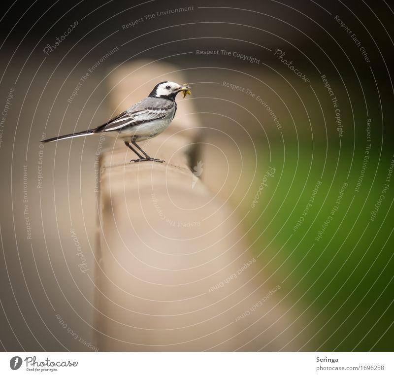 Bachstelze mit Futter für die Jungen im Schnabel Tier Wildtier Vogel Tiergesicht Flügel Krallen 1 fliegen füttern Farbfoto mehrfarbig Außenaufnahme