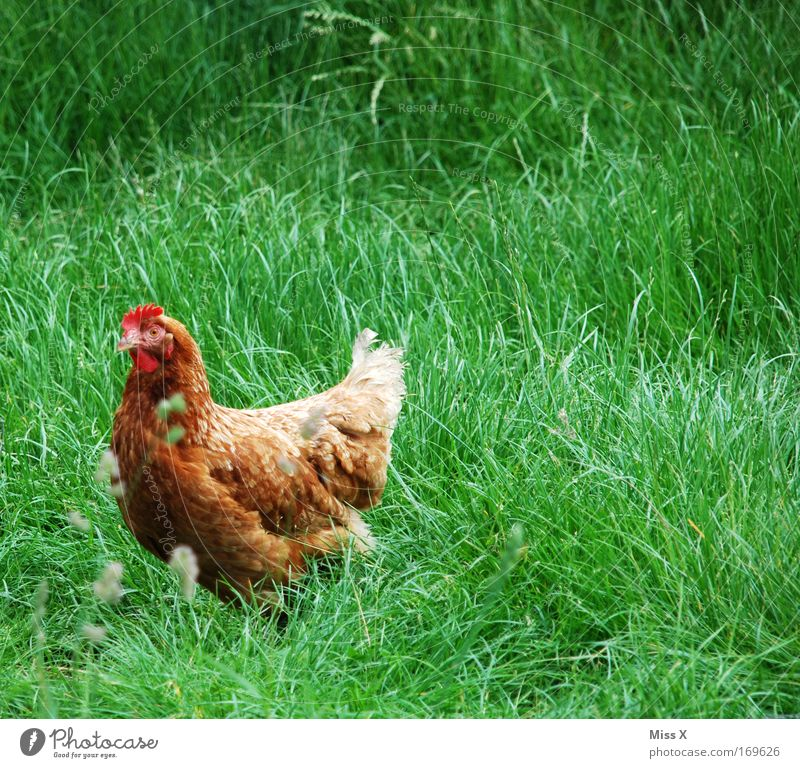 Goldbroiler Natur Tier Gras Vogel Feder Flügel Bauernhof Bioprodukte Tierzucht Haushuhn Nutztier Hahn freilaufend Gackern