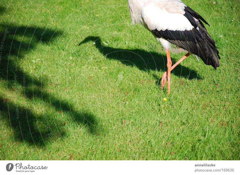 1 1/2 Storch Farbfoto Außenaufnahme Tag Schatten Sonnenlicht Natur Tier Frühling Sommer Schönes Wetter Gras Grünpflanze Park Wiese Feld Wildtier Vogel Flügel