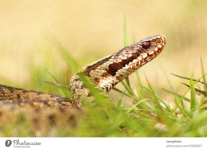 Frau Natur schön Tier Erwachsene braun wild Wildtier Haut gefährlich Schutz Lebewesen Europäer Gift Schlange Reptil