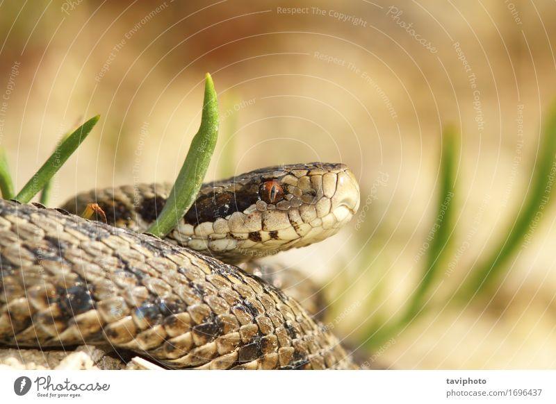 die Wiesenviper schön Natur Tier Schlange wild braun Angst gefährlich Ottern Herpetologie Reptil ursinii Vipera Natter Tierwelt geschützt giftig Rakkosiensis