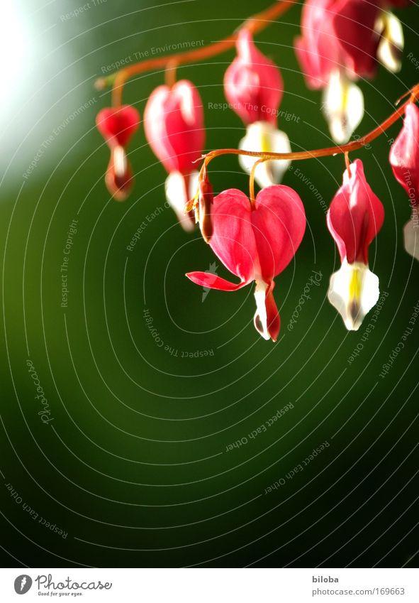 Frauenherz Natur Pflanze Sommer Blume Umwelt Garten Blüte Park Herz frisch ästhetisch Fröhlichkeit einzigartig Romantik weich Zusammenhalt