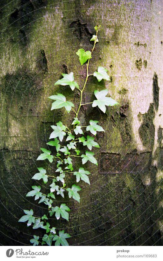 Schmarotzerchen Farbfoto Außenaufnahme Menschenleer Tag Starke Tiefenschärfe Zentralperspektive Umwelt Natur Pflanze Baum Efeu Blatt Grünpflanze Wildpflanze