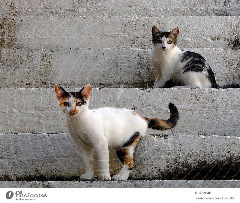Mai–Elke & Pfingst–Rosi. Oben & Unten. Dutzi & Wutzi. Oder & So. Katze schön Sommer weiß Tier Tierjunges grau braun Treppe stehen Tierpaar paarweise warten Lebensfreude beobachten niedlich