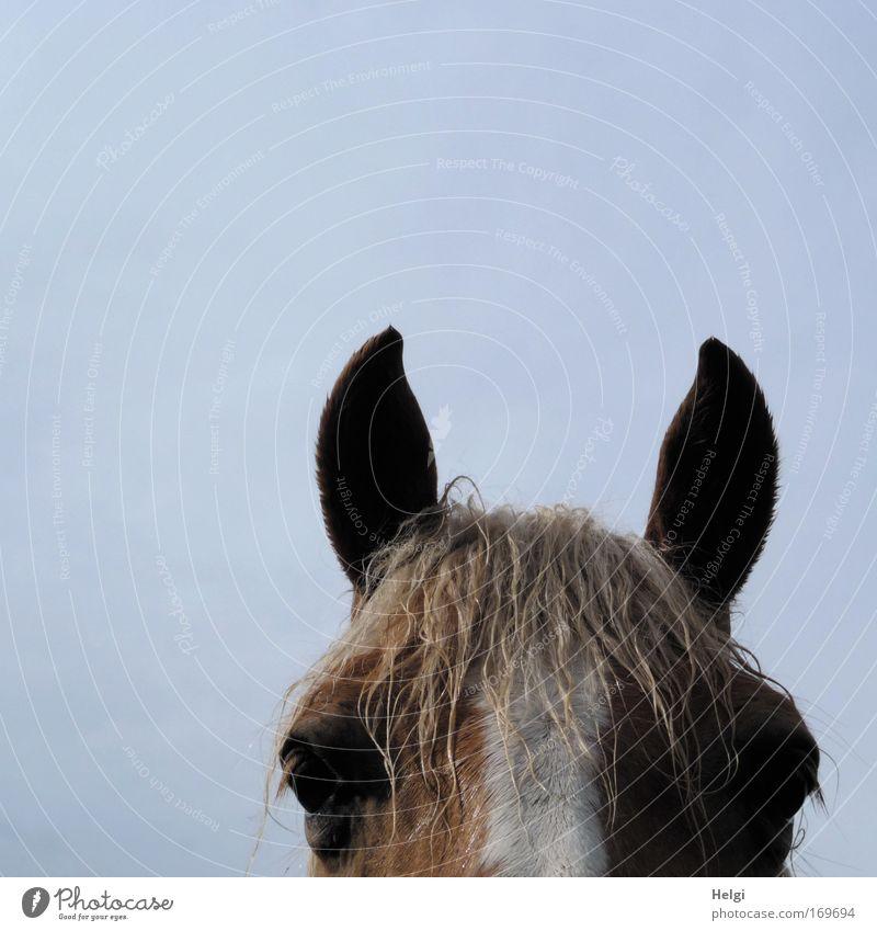 einen Blick riskieren... weiß blau Auge Tier Leben Freiheit Kopf braun Kraft nass groß Pferd stehen Ohr Tiergesicht Freizeit & Hobby