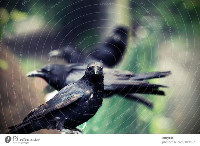 Odin´s Raben Natur Tier Vogel Wildtier füttern Rabenvögel