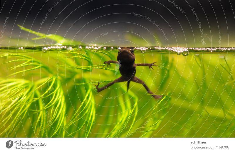 Rocco S. Farbfoto Makroaufnahme Froschperspektive Umwelt Natur Tier Wasser Grünpflanze Wasserpflanze Moor Sumpf Teich See Aquarium 1 Arme Beine Schwanz Schweben