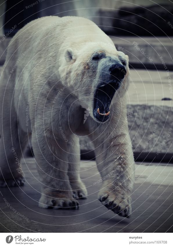 gebleichter Grizzly! Bär weiß Tier Angst gefährlich bedrohlich Zoo Wildtier Pfote Aggression Umweltschutz Maul Schnauze gigantisch Eisbär