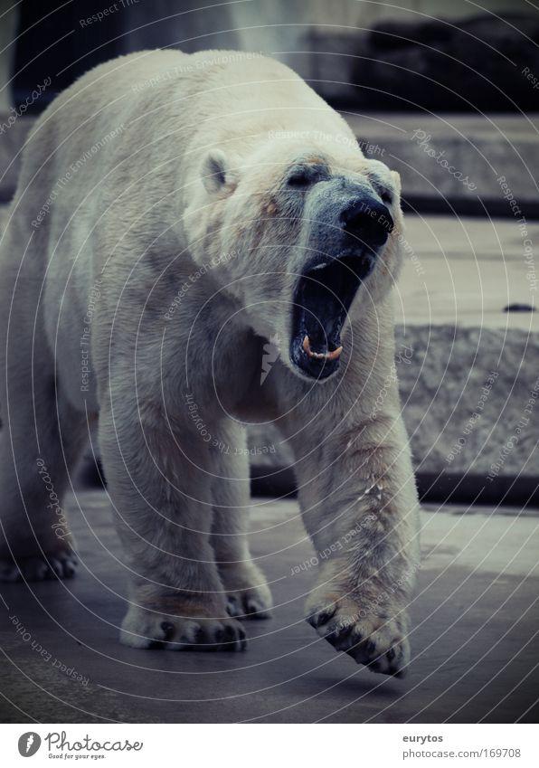 gebleichter Grizzly! Farbfoto Außenaufnahme Tag Kontrast Totale Tier Wildtier Zoo 1 bedrohlich gigantisch weiß Aggression Umweltschutz Eisbär Schnauze Maul