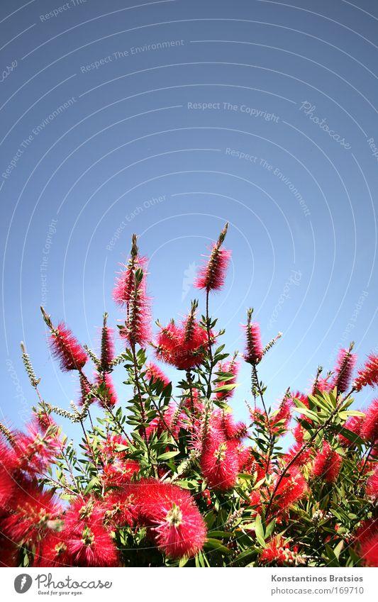 Flaschenputzer Natur schön grün blau Pflanze rot Sommer Farbe Blüte hell Sträucher Duft Schönes Wetter exotisch Wolkenloser Himmel Zylinderputzer