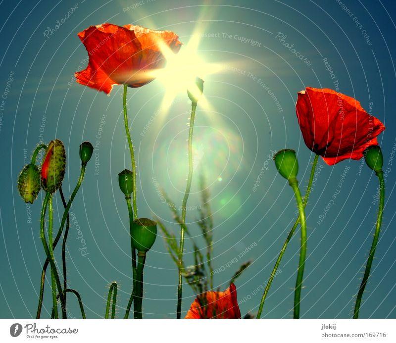 Mohntag Natur schön Himmel Sonne Blume grün blau Pflanze rot Sommer Wiese Blüte Feld Perspektive Fröhlichkeit ästhetisch