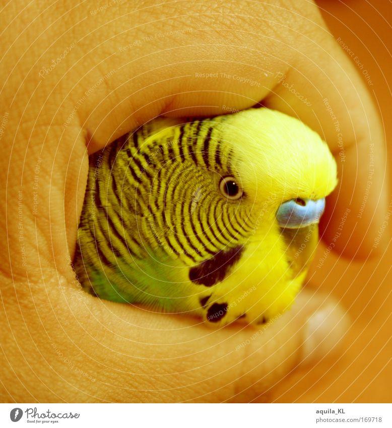 Friedolin Hand schön grün Auge Tier gelb Vogel Haut Feder Wildtier Australien Haustier Schnabel Mensch Papageienvogel Wellensittich