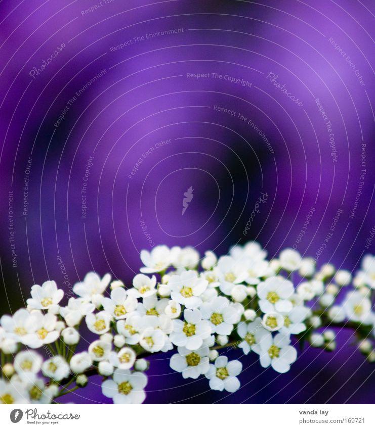 Purple Natur Pflanze schön weiß Umwelt Frühling Blüte träumen Idylle Sträucher Fröhlichkeit Blühend violett Duft Muttertag